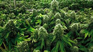 CBDTherapy develops cultures of Sativa from which its products come